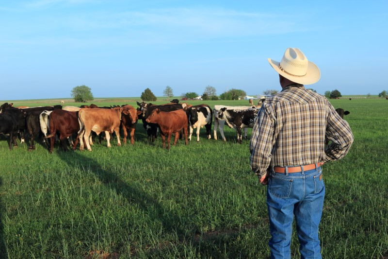 Agriculture: Farmer Rancher with Mixed Breed Cattle in a Field